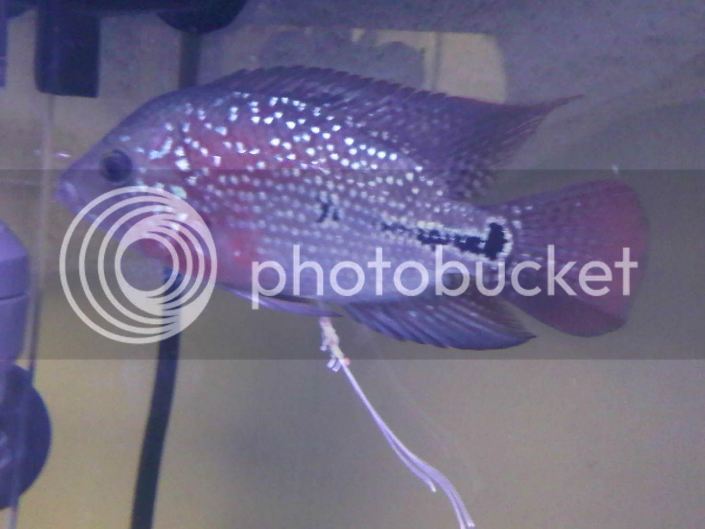 freshwater aquarium fish parasites fish parasites or