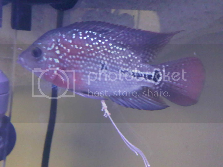 Freshwater aquarium fish internal parasites - Freshwater Aquarium Fish Parasites Fish Parasites Or Just Scavengers 2017 Fish Tank Maintenance