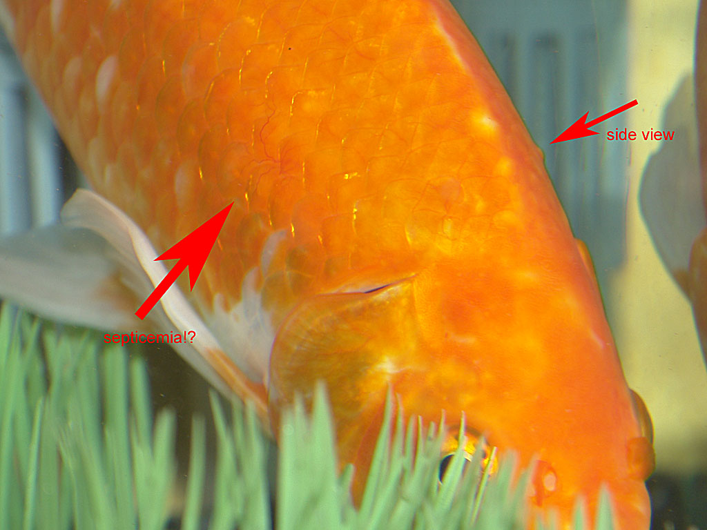 Septicemia goldfish for Septicemia in fish